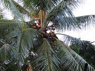 320px-coconut_palm_-_flickr_-_treegrow_28129